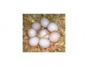 Macaw parrots and fertile eggs for sale